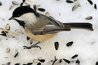 Photograph - Black-capped Chickadee by Joe Faherty
