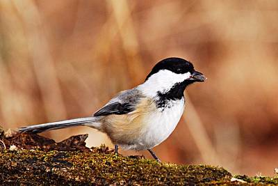 Nature Photograph - Black-capped Chickadee by Larry Ricker