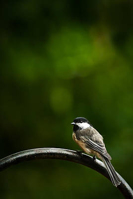 Photograph - Black-capped Chickadee by  Onyonet  Photo Studios