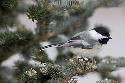 Black-capped Chickadee, Poecile Art Print by John Cancalosi
