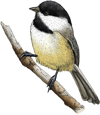 Chickadee Drawing - Black Capped Chickadee by Roger Hall and Photo Researchers