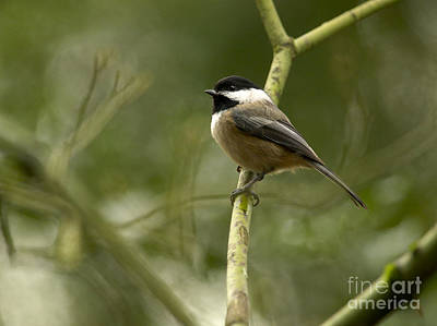 Blackcap Photograph - Black-capped Chickadee With Branch Bokeh by Sharon Talson