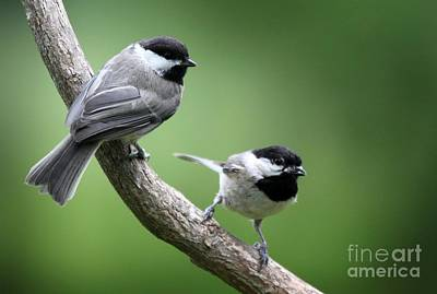 Art Print featuring the photograph Black-capped Chickadees by Jack R Brock