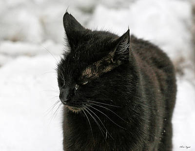 Photograph - Black Cat White Snow by Chriss Pagani