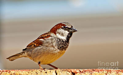 Black-chinned Sparrow Art Print by Robert Bales