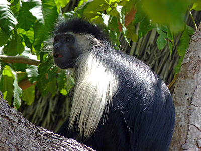 Wilderness Camping - Black colobus monkey by Tony Murtagh