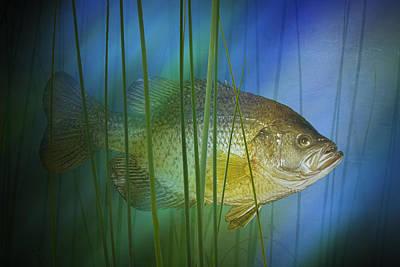Black Crappie Fish No.0155 Art Print by Randall Nyhof
