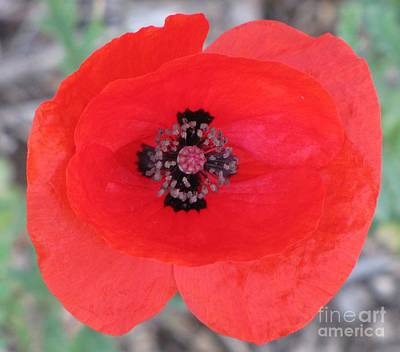 Photograph - Black Cross Red Poppy by Michele Penner