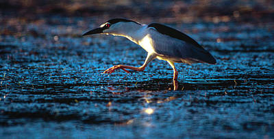Photograph - Black-crowned Night Heron by Alistair Lyne