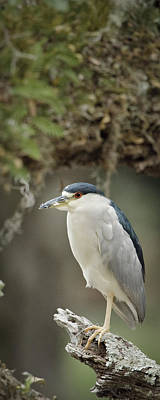 Photograph - Black Crowned Night Heron  by Patrick M Lynch