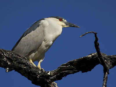 Night Photograph - Black-crowned Night Heron by Shane Bechler