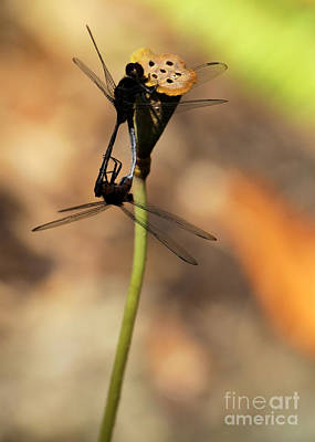 Dragonflies Mating Photograph - Black Dragonfly Love by Sabrina L Ryan