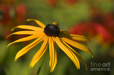 Black-eyed Susan 2 Art Print by Sharon Talson