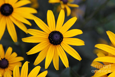 Black-eyed Susan Art Print by Chris Hill