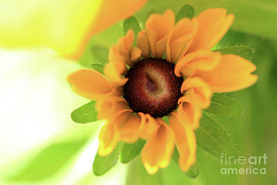 Wall Art - Photograph - Black Eyed Susan by Debbie Hartley