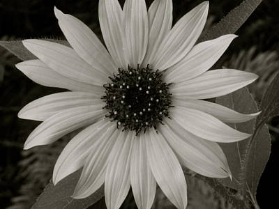 Photograph - Black Eyed Susan by Rhonda Jones