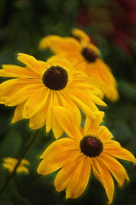 Rockville Photograph - Black-eyed Susans In Full Bloom In Summer by Maria Mosolova