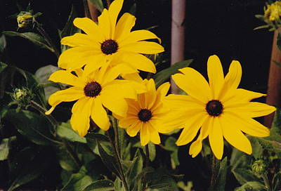 Photograph - Black-eyed Susans In Stages by Barbara Plattenburg