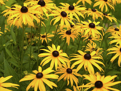 Black-eyed Susans Art Print by Stanley French