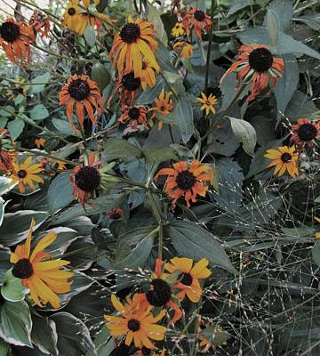 Photograph - Black-eyed Susans by Todd Sherlock