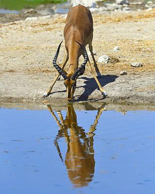 Photograph - Black-faced Impala by Tony Beck