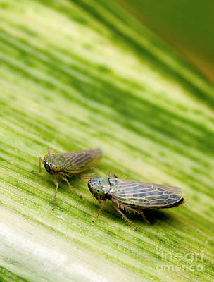 Black-faced Leafhoppers Art Print by Science Source