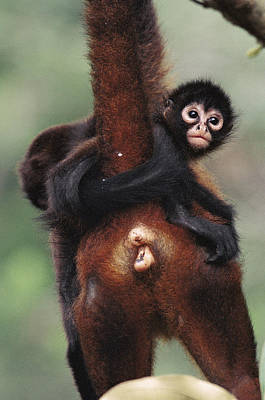 Black-handed Spider Monkey Ateles Art Print by Christian Ziegler