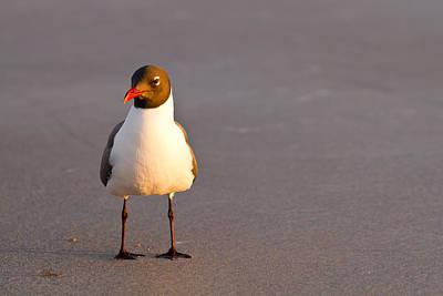 Black Headed Gull Original by Adam Pender