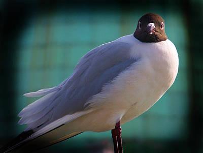 Bird Deterrent Photograph - Black Headed Gull  by Sunil Bhardwaj