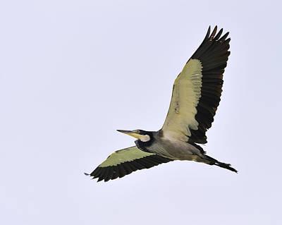 Photograph - Black-headed Heron by Tony Beck