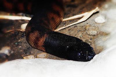 Photograph - Black Headed Python by Scott Hovind
