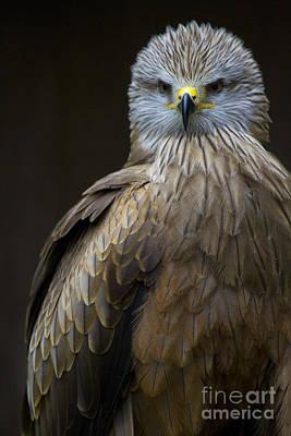 Black Kite Photograph - Black Kite 2 by Heiko Koehrer-Wagner