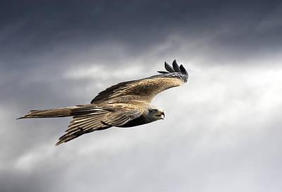 Black Kite Photograph - Black Kite In Flight by Linda Wright