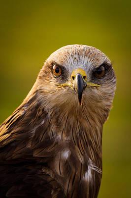 Black Kite Photograph - Black Kite by Peter Orr Photography