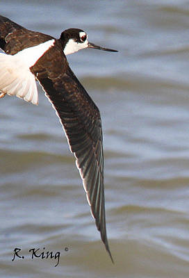 Photograph - Black-neck Stilt In Flight by Roena King