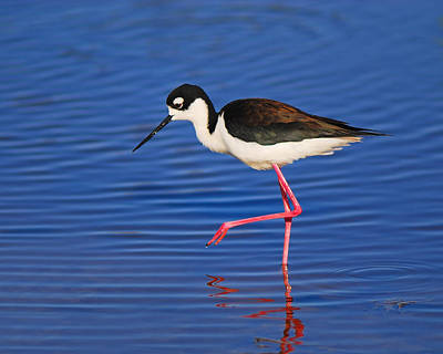 Photograph - Black-necked Stilt by Tony Beck
