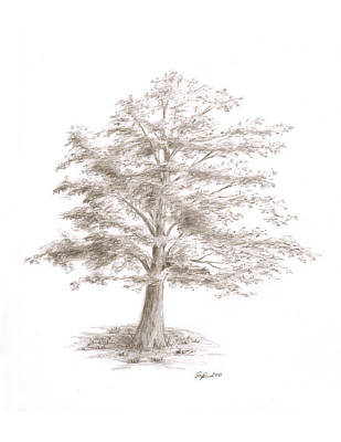 Drawing - Black Oak by Steven Powers SMP