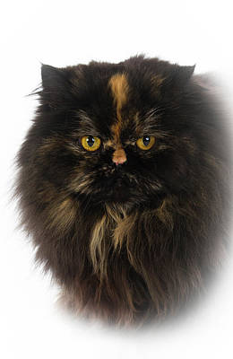Persian Cat Photograph - Black Persian by www.WM ArtPhoto.se