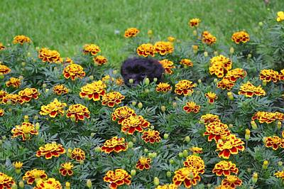 Photograph - Black Puppy In A Bed Of Flowers by Jeanne Andrews