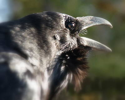 Black Raven Talk Art Print by Cindy Wright