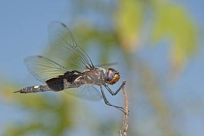 Saddlebag Photograph - Black Saddlebags Dragonfly by Bonnie Barry