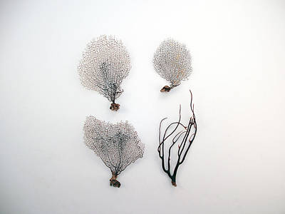 Turks And Caicos Islands Photograph - Black Sea Fans On White Background by Jennifer Steen Booher