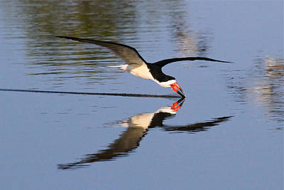 Black Skimmer Art Print by Paul Marto