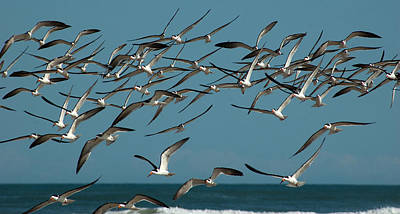 Photograph - Black Skimmers by Ronald Broome