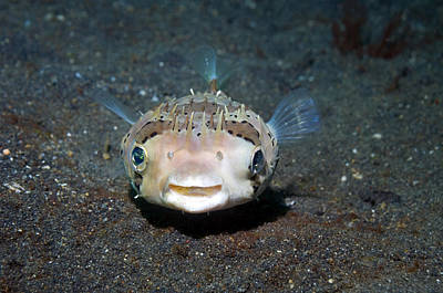 Porcupine Fish Photograph - Black-spotted Porcupinefish by Georgette Douwma