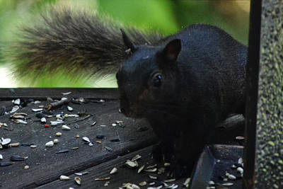 Photograph - Black Squirrel by Kelly Reber