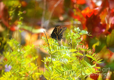 Autumn Peggy Franz Photograph - Black Swallow Tail Butterfly In Autumn Colors by Peggy Franz