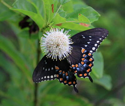 Photograph - Black Swallowtail by Brenda Redford
