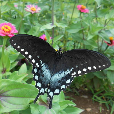 Photograph - Black Swallowtail Butterfly by Diannah Lynch