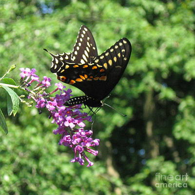 Photograph - Black Swallowtail Butterfly  by Nancy Patterson